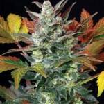 Представляем вашему вниманию подборку, на тему:Прикольные картинки марихуаны