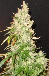 northern-soul-seeds-seedsman-feminised