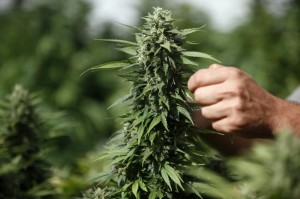 Worker touches cannabis plant at a growing facility near the northern city of Safed